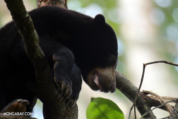 Sun bear in Malaysian Borneo [sabah_sepilok_0289]