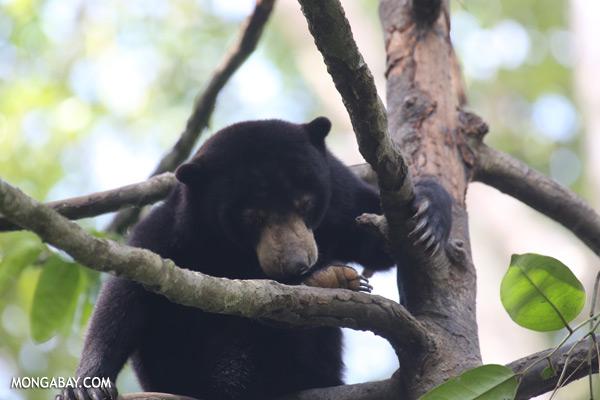 Sun bear in Malaysian Borneo [sabah_sepilok_0297]