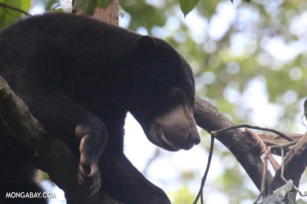 Sun bear in Malaysian Borneo [sabah_sepilok_0305]