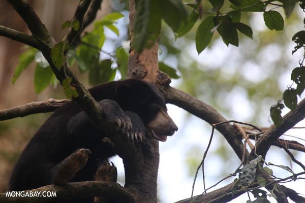 Sun bear in a tree