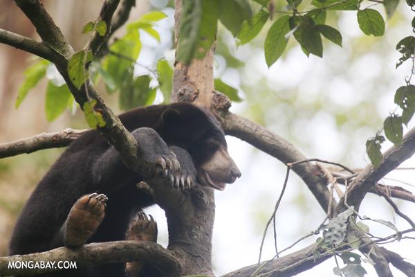 Sun bear in a tree [sabah_sepilok_0314]