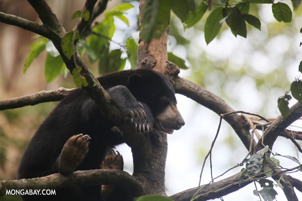 Sun bear in a tree [sabah_sepilok_0317]