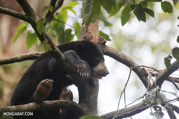Sun bear in a tree [sabah_sepilok_0318]