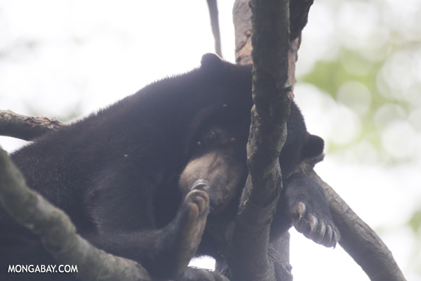 Sun bear in a tree [sabah_sepilok_0322]