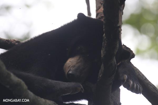 Malaysian sun bear in a tree [sabah_sepilok_0326]