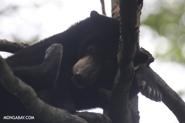 Malaysian sun bear in a tree