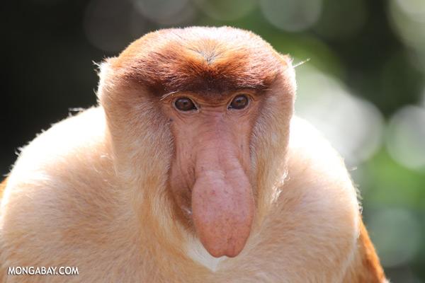 Male proboscis monkey [sabah_sepilok_0337]