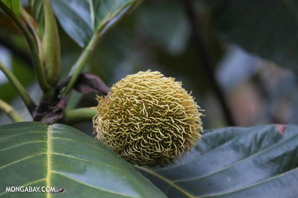 Flower ball [sabah_sepilok_0338]