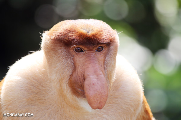 Male proboscis monkey [sabah_sepilok_0339]