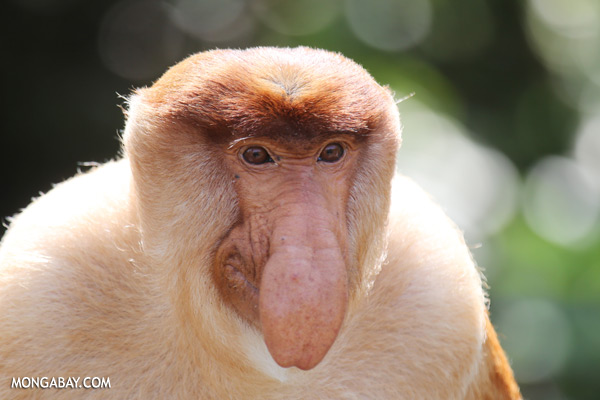 Male proboscis monkey [sabah_sepilok_0341]