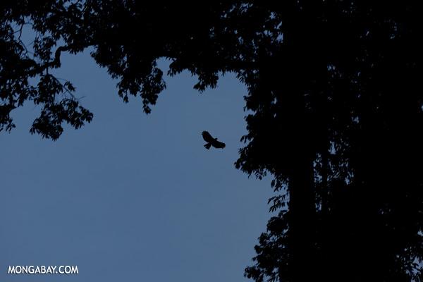 Rainforest bird in flight at dusk