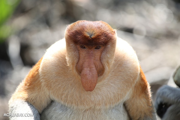 Male proboscis monkey [sabah_sepilok_0358]