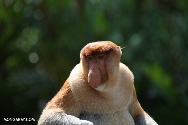 Male proboscis monkey [sabah_sepilok_0359]