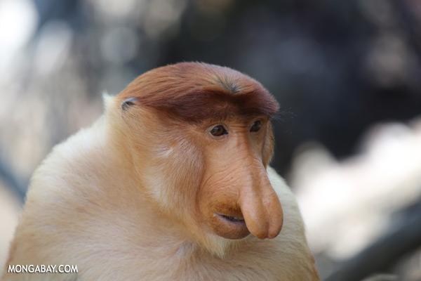 Male proboscis monkey [sabah_sepilok_0371]