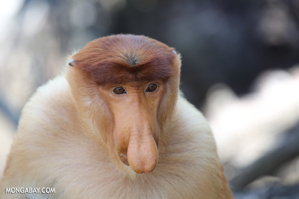 Male proboscis monkey [sabah_sepilok_0375]