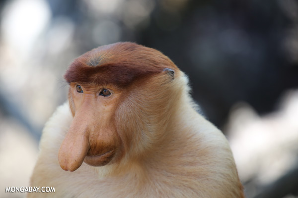 Male proboscis monkey [sabah_sepilok_0377]