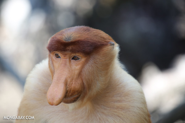 Male proboscis monkey [sabah_sepilok_0378]