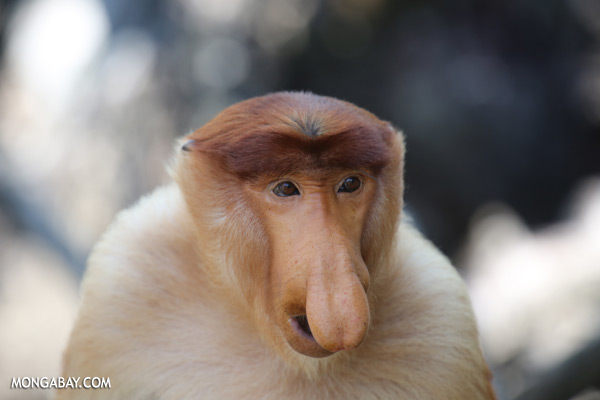 Male proboscis monkey [sabah_sepilok_0382]