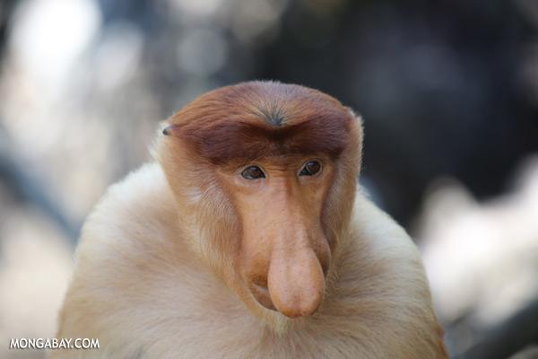 Male proboscis monkey [sabah_sepilok_0383]