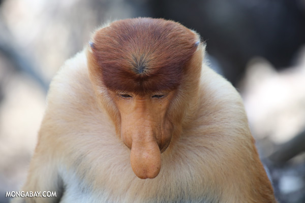 Male proboscis monkey [sabah_sepilok_0385]