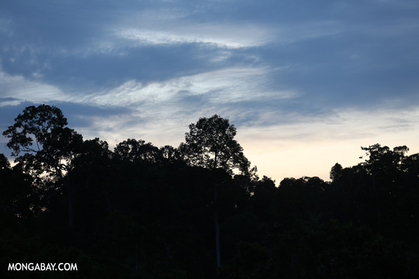 Sepilok rainforest at dusk [sabah_sepilok_0386]