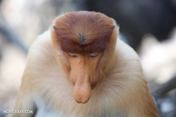 Male proboscis monkey [sabah_sepilok_0387]