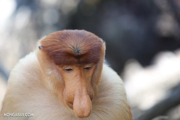 Male proboscis monkey [sabah_sepilok_0389]