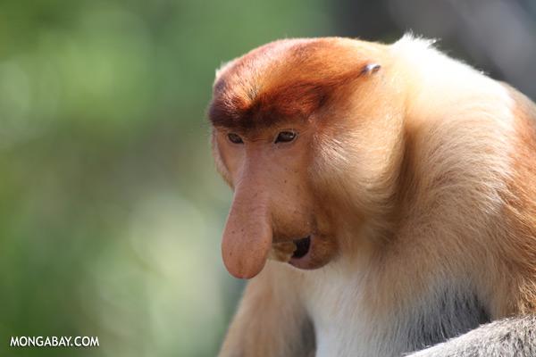 Male proboscis monkey [sabah_sepilok_0391]