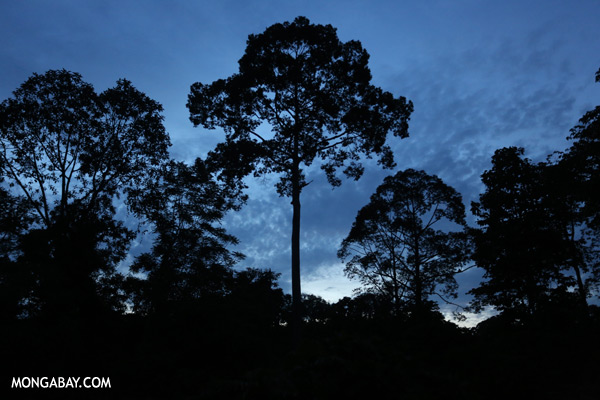 Sepilok rainforest at dusk [sabah_sepilok_0392]