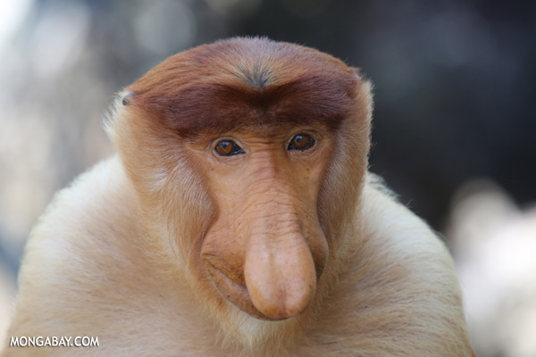 Male proboscis monkey [sabah_sepilok_0401]