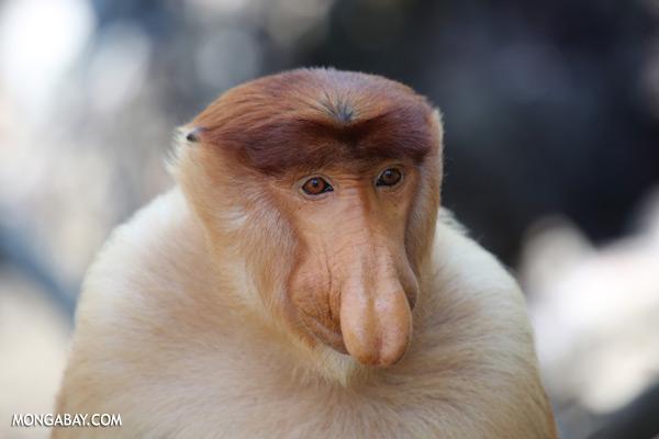 Male proboscis monkey [sabah_sepilok_0405]