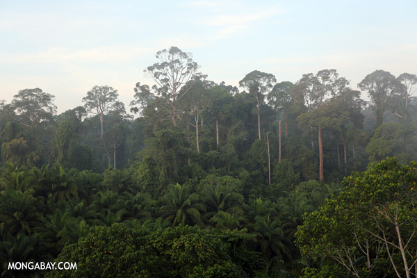 Rain forest and oil palm