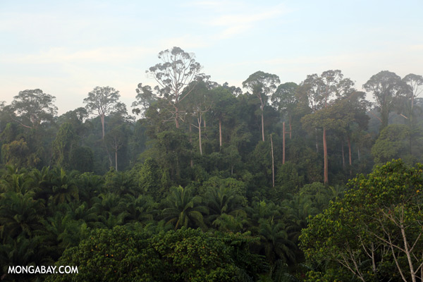 Rain forest and oil palm [sabah_sepilok_0408]