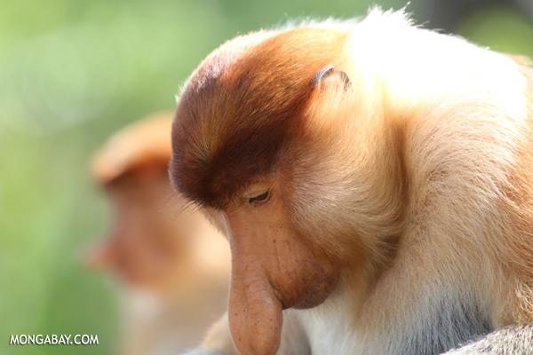 Male proboscis monkey [sabah_sepilok_0409]