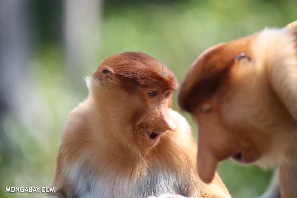 Male proboscis monkey [sabah_sepilok_0412]