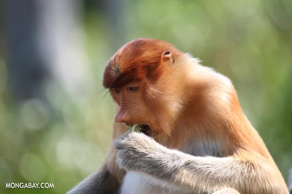 Male proboscis monkey [sabah_sepilok_0415]