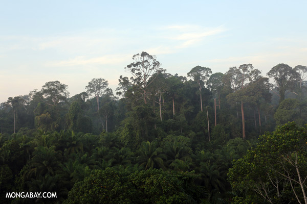 Rain forest and oil palm [sabah_sepilok_0417]