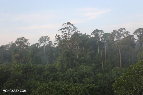 Rain forest and oil palm [sabah_sepilok_0419]