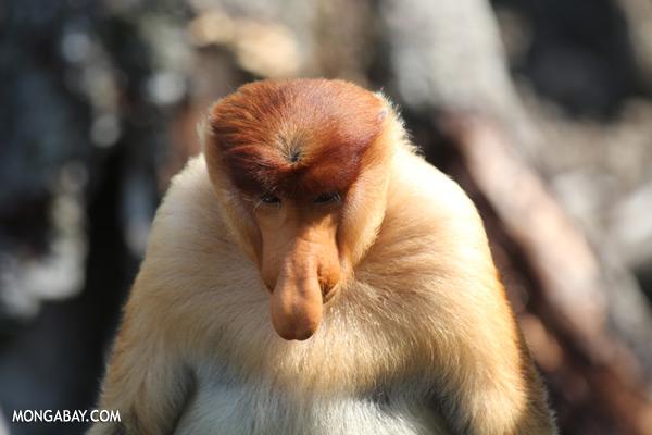 Male proboscis monkey [sabah_sepilok_0422]
