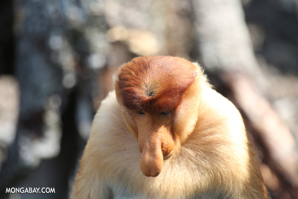 Male proboscis monkey [sabah_sepilok_0423]