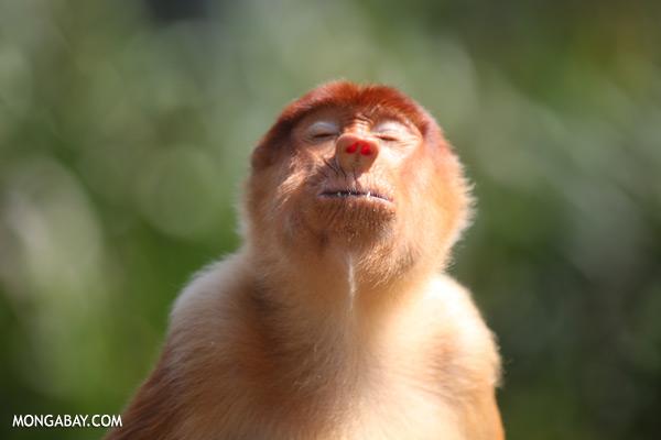 Male proboscis monkey [sabah_sepilok_0425]