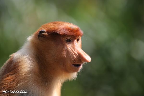 Male proboscis monkey [sabah_sepilok_0427]