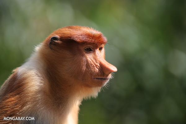 Male proboscis monkey [sabah_sepilok_0428]