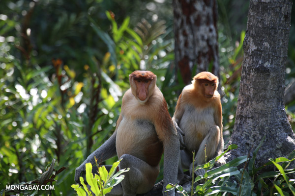 Endangered proboscis monkeys in Sabah