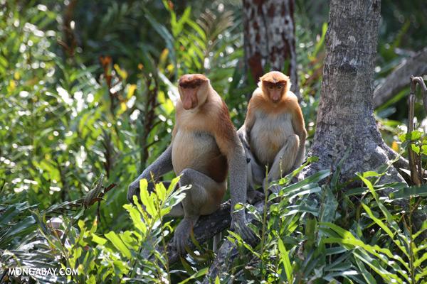 Proboscis monkeys in a mangrove forest
