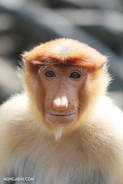 Male proboscis monkey [sabah_sepilok_0438]