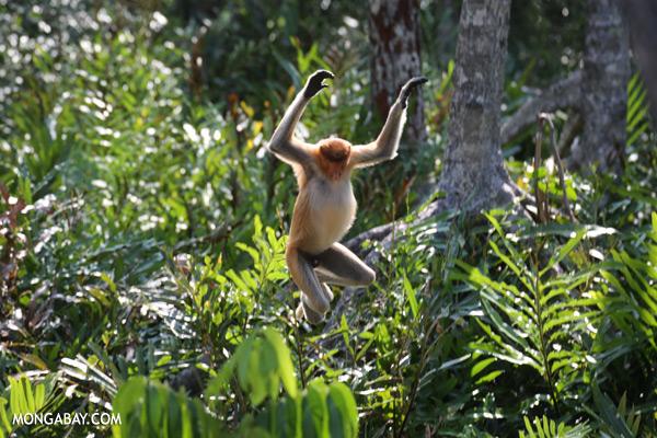 Proboscis monkeys jumping