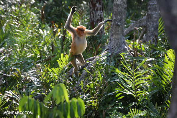 Endangered proboscis monkeys in Sabah [sabah_sepilok_0441]