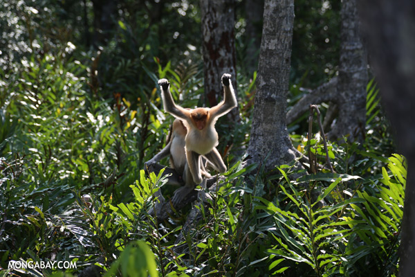 Endangered proboscis monkeys in Sabah [sabah_sepilok_0442]