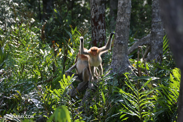 Endangered proboscis monkeys in Sabah [sabah_sepilok_0443]